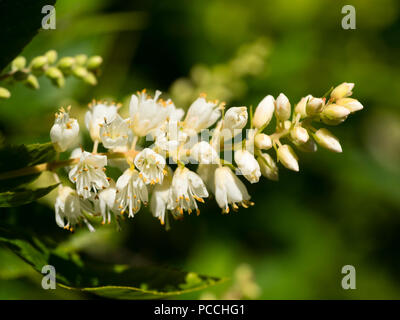 Close up of the fragrant flowers of the sweet pepper bush, Clethra alnifolia - Stock Photo