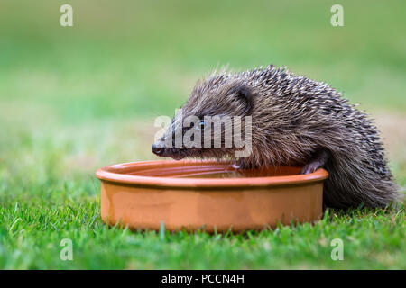 Hedgehog, native, wild hedgehog drinking water from a terracotta bowl.  Facing left.  Scientific name: Erinaceus europaeus.  Horizontal - Stock Photo
