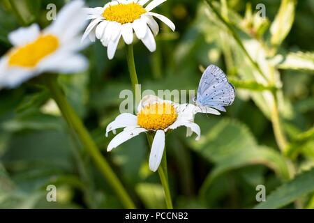 Holly Blue butterfly (Celastrina argiolus) - Stock Photo