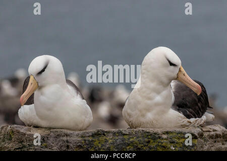 Pair of black-browed albatross nesting in the Falkland Islands - Stock Photo