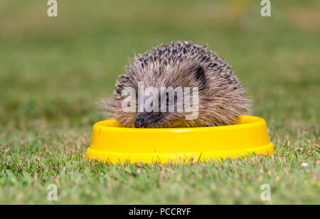 Hedgehog, Wild, native, European hedgehog drinking water from a yellow bowl. Scientific name: Erinaceous europaeus.  Horizontal - Stock Photo