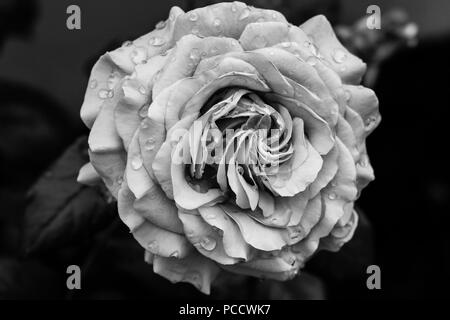 Rose in Black and White - Stock Photo