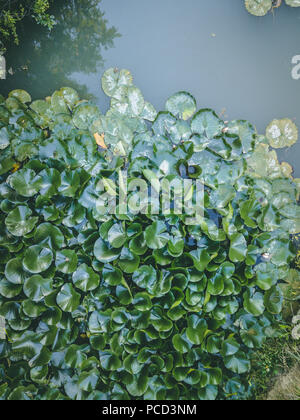 Aerial look of the lake with water plants like lily and lotus