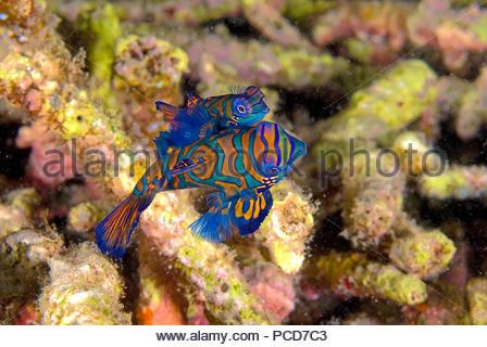 Mandarinfishes or mandarin dragonets (Synchiropus splendidus), mating, Lembeh Strait, Sulawesi, Indonesia - Stock Photo