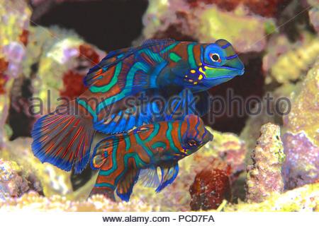 Mandarinfishes or mandarin dragonets (Synchiropus splendidus), pair, Sabang Beach, Mindoro, Philippines - Stock Photo