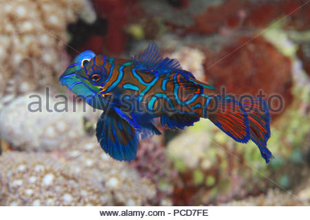 Mandarinfishes or mandarin dragonets (Synchiropus splendidus), mating, inseminating, Sabang Beach, Mindoro, Philippines - Stock Photo