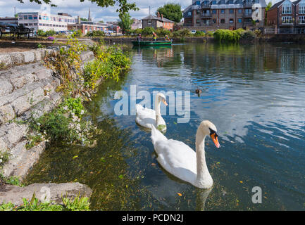 Pair of White Mute Swans swimming on the Chichester Canal in Summer in Chichester, West Sussex, England, UK. Chichester Ship Canal. - Stock Photo