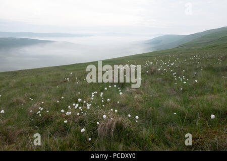 A Late spring morning near in the Yorkshire Dales. Cotton grass grows high on the hill side as inverted cloud has settled in the valley below. - Stock Photo