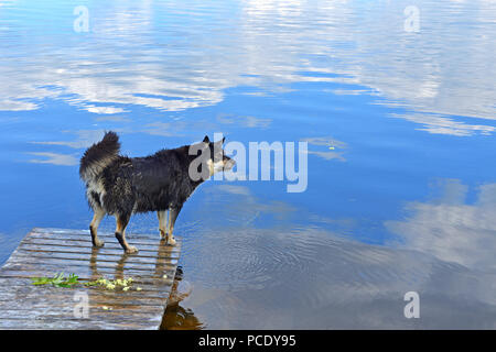 Wet Lapponian herder (Lapinporokoira or Lapp Reindeer dog or Lapsk Vallhund)  on background blue lake with reflection of white clouds. Finnish Lapland - Stock Photo