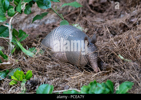 An armadillo, Dasypus novemcinctus, roots in the ground under a pine tree in northwest Louisiana. - Stock Photo