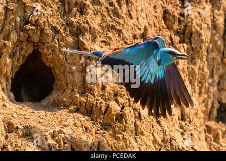 European roller or Coracias garrulus flies - Stock Photo