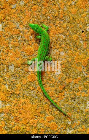 Bright green lizard on orange stone background - Stock Photo