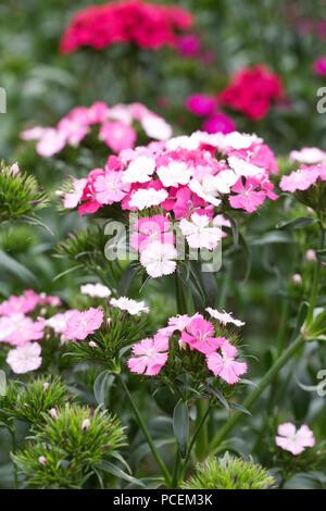 Dianthus barbatus Amazon Mix. Sweet William flowers. - Stock Photo