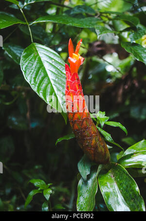 Closed long red ginger flower beginning to bloom and covered in ants in the rainforest of Costa Rica - Stock Photo