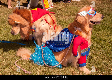 Golden retrievers costumed as a super hero and a lion get ready to compete in the costume parade at a Huntington Beach, CA, dog show.  (Photo by Spencer Grant) - Stock Photo