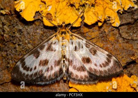 small magpie moth, (Anania hortulata, Eurrhypara hortulata) - Stock Photo
