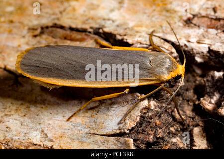 common footman moth, (Eilema lurideola) - Stock Photo