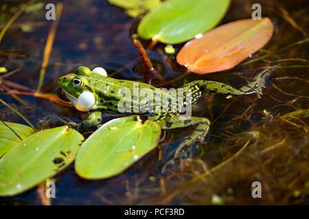 edible frog, (Rana esculenta) - Stock Photo