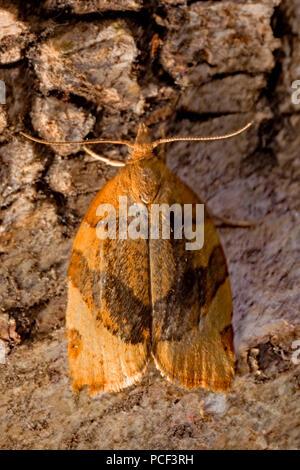 barred fruit-tree tortrix moth, (Pandemis cerasana) - Stock Photo