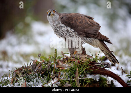 Northern Goshawk, adult, Zdarske Vrchy, Bohemian-Moravian Highlands, Czech Republic, (Accipiter gentilis) - Stock Photo