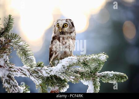 Boreal Owl, adult, Zdarske Vrchy, Bohemian-Moravian Highlands, Czech Republic, (Aegolius funereus) - Stock Photo