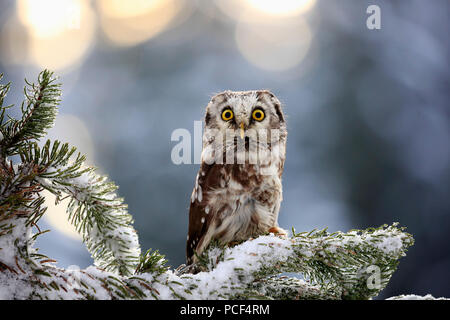Boreal Owl, adult, Zdarske Vrchy, Bohemian-Moravian Highlands, Czech Republic, (Aegolius funereus) - Stock Photo
