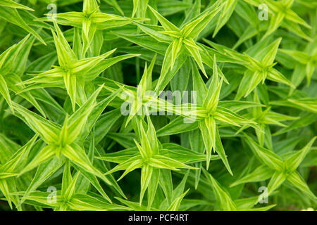 Texture of green pointed leaves of a growing plant. Top view. - Stock Photo