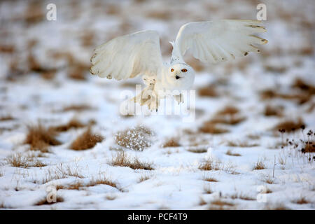 Snowy Owl, adult, Zdarske Vrchy, Bohemian-Moravian Highlands, Czech Republic, (Nyctea scandiaca) - Stock Photo