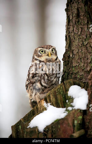 Little owl, adult, Zdarske Vrchy, Bohemian-Moravian Highlands, Czech Republic, (Athene noctua) - Stock Photo