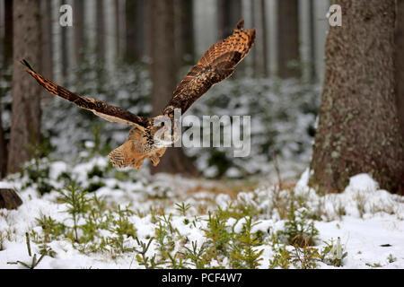 Eagle Owl, adult, Zdarske Vrchy, Bohemian-Moravian Highlands, Czech Republic, (Bubo bubo) - Stock Photo