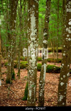 Watzlik-Hain primeval forest, bavarian forest - Stock Photo