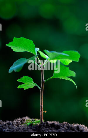Junger Ginkgo-Baum, Ginkgo biloba - Stock Photo