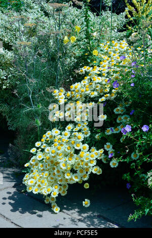 Blumenbeet mit Margeriten, Leucanthemum vulgare - Stock Photo