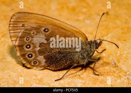 chestnut heath moth, (Coenonympha glycerion) - Stock Photo
