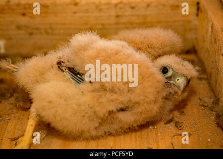 common kestrel, chick, (Falco tinnunculus) - Stock Photo
