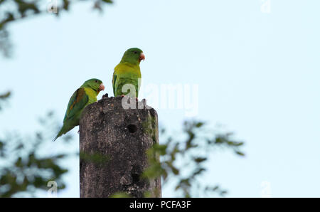 A couple of Orange-chinned Parakeet (Brotogeris jugularis) also known as the Tovi parakeet on top of an electric pole - Stock Photo