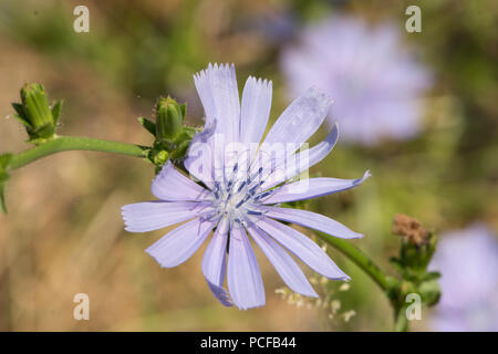 Chicory, Cichorium intybus,  Common chicory, succory, Blue sailors, Coffeeweed, Sussex, July - Stock Photo