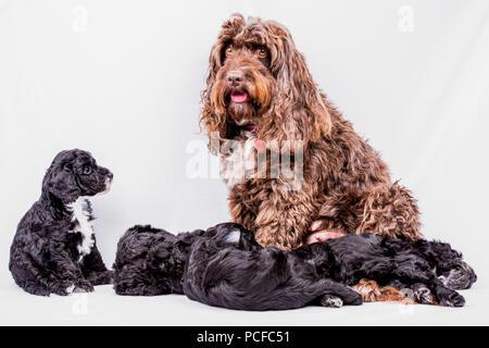 cute cockerpoo portrait - Stock Photo