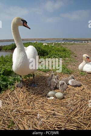 Pair of mute swans Cygnus olor at nest Abbotsbury Swannery Dorset - Stock Photo