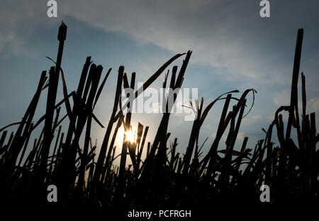 Duisburg, Germanhy. 02nd Aug, 2018. After the wheat harvest, the stalks protrude from the ground in a field. Credit: Martin Gerten/dpa/Alamy Live News - Stock Photo