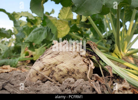 Duisburg, Germany. 02nd Aug, 2018. A sugar beet in a field. Farmers in many areas of Germany have had to contend with weeks of dry weather. Credit: Martin Gerten/dpa/Alamy Live News - Stock Photo