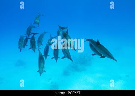 Red Sea, Sataya Reef, Marsa Alam, Egypt, Africa. 2nd Aug, 2018. A pod of dolphins swims over sandy bottom. Spinner Dolphins Credit: Andrey Nekrasov/ZUMA Wire/ZUMAPRESS.com/Alamy Live News - Stock Photo