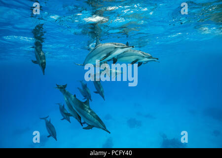 August 2, 2018 - Red Sea, Sataya Reef, Marsa Alam, Egypt, Africa - A pod of dolphins swim under surface of the blue water. Spinner Dolphins  (Credit Image: © Andrey Nekrasov/ZUMA Wire/ZUMAPRESS.com) - Stock Photo