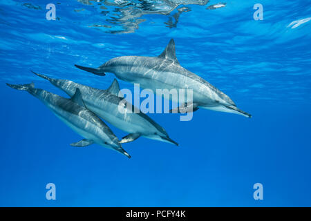 August 2, 2018 - Red Sea, Sataya Reef, Marsa Alam, Egypt, Africa - Mom with two teeny dolphins swim in the blue water reflecting off the surface. Spinner Dolphins  (Credit Image: © Andrey Nekrasov/ZUMA Wire/ZUMAPRESS.com) - Stock Photo