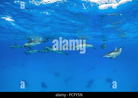 August 2, 2018 - Red Sea, Sataya Reef, Marsa Alam, Egypt, Africa - A pod of Spinner Dolphins (Stenella longirostris) swim under surface of the blue water  (Credit Image: © Andrey Nekrasov/ZUMA Wire/ZUMAPRESS.com) - Stock Photo