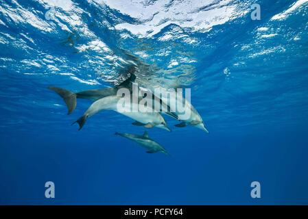 August 2, 2018 - Red Sea, Sataya Reef, Marsa Alam, Egypt, Africa - Family of Spinner Dolphins (Stenella longirostris) swim under surface of water (Credit Image: © Andrey Nekrasov/ZUMA Wire/ZUMAPRESS.com) - Stock Photo