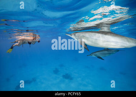 August 2, 2018 - Red Sea, Sataya Reef, Marsa Alam, Egypt, Africa - Mutual curiosity - woman in a mask and fins looks at the dolphins and the women on a woman. Spinner Dolphins  (Credit Image: © Andrey Nekrasov/ZUMA Wire/ZUMAPRESS.com) - Stock Photo
