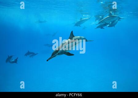 August 1, 2018 - Red Sea, Sataya Reef, Marsa Alam, Egypt, Africa - A pod of Spinner Dolphins (Stenella longirostris) swim under surface of the blue water (Credit Image: © Andrey Nekrasov/ZUMA Wire/ZUMAPRESS.com) - Stock Photo