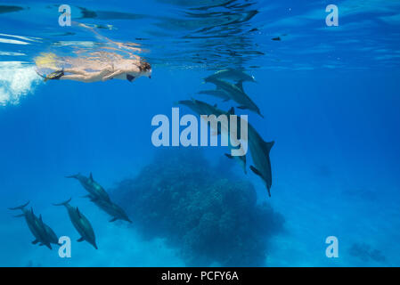 August 2, 2018 - Red Sea, Sataya Reef, Marsa Alam, Egypt, Africa - A woman in a mask and fins swim and look at a pod of Spinner Dolphins  (Credit Image: © Andrey Nekrasov/ZUMA Wire/ZUMAPRESS.com) - Stock Photo