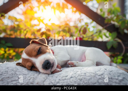 Jack russel terrier on autumn terrace - Stock Photo